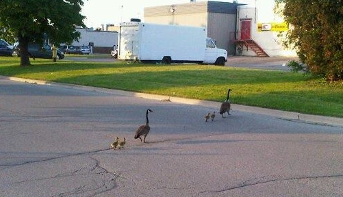 Geese sharing parenting